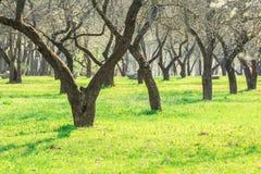 Arbres dans l'allée de verger pendant le printemps Image libre de droits