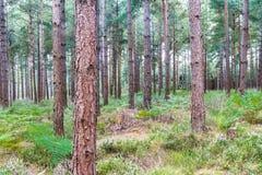 Arbres dans la forêt BRITANNIQUE de pin de région boisée Photos libres de droits