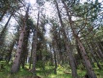 Arbres dans la forêt de pin Photographie stock libre de droits