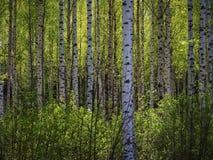 Arbres dans la forêt de printemps photographie stock