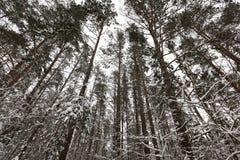 Arbres dans la forêt en hiver Image libre de droits