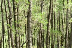 Arbres dans la forêt, Népal Images libres de droits
