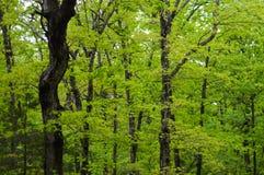 Arbres dans la forêt pendant le ressort Photo libre de droits