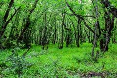 Arbres dans la forêt verte Photos stock