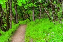Arbres dans la forêt verte, sentier piéton Photos stock
