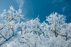 Arbres dans la neige d'hiver au ciel Image libre de droits