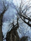 Arbres dans le ciel d'hiver Photo stock