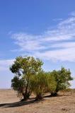 Arbres dans le désert Photo stock