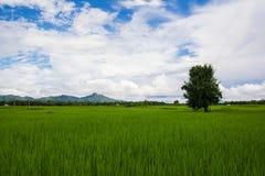 Arbres dans le domaine de riz Photo libre de droits