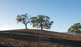 Arbres dans le domaine labouré dans le paysage de pays de vin de Paso Robles Photos libres de droits