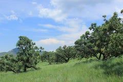 Arbres dans le domaine vert de l'herbe en nature africaine, natal royal, Afrique du Sud, beau paysage Photographie stock