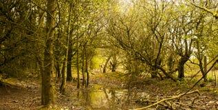 Arbres dans le magma de forêt Photo libre de droits