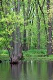 Arbres dans le marais Photo libre de droits