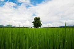 Arbres dans le riz Photos stock