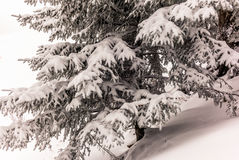 Arbres dans les Alpes suisses sous chutes de neige lourdes - 11 Image libre de droits