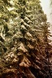 Arbres dans les bois dans la neige Photographie stock