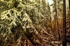 Arbres dans les bois dans la neige Photographie stock libre de droits