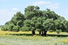 Arbres dans un domaine des Wildflowers dans le Texas du sud photographie stock libre de droits