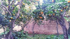 Arbres dans un verger orange Photographie stock