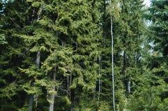 Arbres dans une forêt au Belarus Photos libres de droits