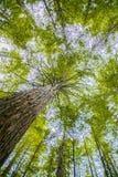 Arbres dans une forêt en bois rouge photographie stock libre de droits