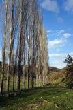 Arbres dans une rangée sur l'herbe verte Images libres de droits