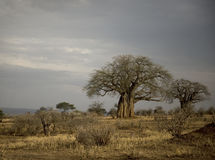 Arbres de balboa dans le Serengeti, Tanzanie Photographie stock
