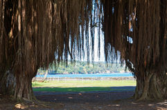 Arbres de banian de Hilo Images libres de droits