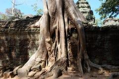 Arbres de banian sur des ruines dans le temple de Ta Prohm cambodia Grandes racines aériennes de ficus sur le mur en pierre antiq photographie stock libre de droits