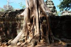 Arbres de banian sur des ruines dans le temple de Ta Prohm cambodia Grandes racines a?riennes de ficus sur le mur en pierre antiq photo libre de droits