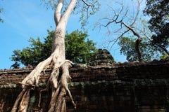 Arbres de banian sur des ruines dans le temple de Ta Prohm cambodia Grandes racines a?riennes de ficus sur le mur en pierre antiq image libre de droits