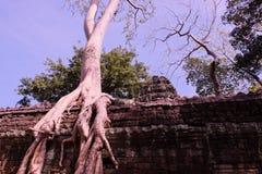 Arbres de banian sur des ruines dans le temple de Ta Prohm cambodia Grandes racines a?riennes de ficus sur le mur en pierre antiq photographie stock libre de droits