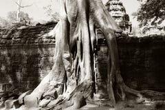 Arbres de banian sur des ruines dans le temple de Ta Prohm cambodia Grandes racines a?riennes de ficus sur le mur en pierre antiq images stock