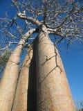 Arbres de baobab Photos stock