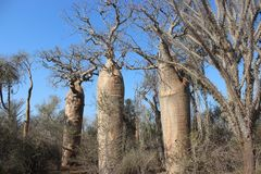 Arbres de baobab dans la forêt épineuse d'Ifaty, Madagascar photographie stock libre de droits