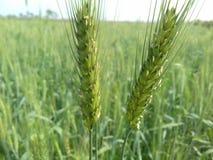 Arbres de blé dans le domaine photographie stock