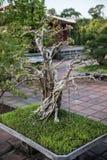 Arbres de bonsaïs dans Thien MU Image libre de droits