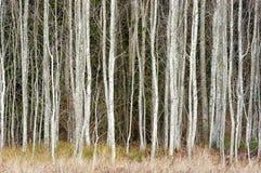 arbres de bouleau Images stock