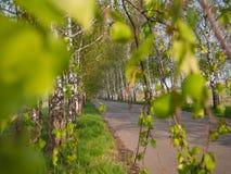 Arbres de bouleau avec les feuilles de floraison d'offre de ressort Zone de matin de source? d'herbe verte et de ciel nuageux ble images libres de droits