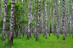 Arbres de bouleau blanc dans la forêt en été, herbe verte Photos stock