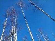 Arbres de bouleau contre le ciel clair d'hiver Images libres de droits