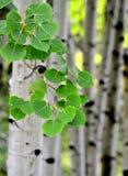 Arbres de bouleau d'Aspen en été Image stock