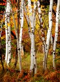 Arbres de bouleau d'automne photo stock