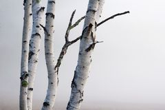 Arbres de bouleau dans le regain Photographie stock