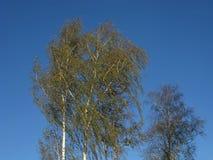 Arbres de bouleau dans le vent Image stock