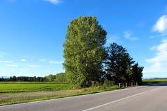 Arbres de bouleau de bord de la route Photos libres de droits