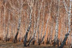 Arbres de bouleau de ressort au soleil Photo stock