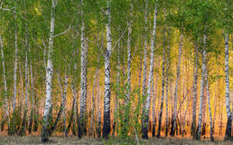 Arbres de bouleau de ressort au soleil Image libre de droits