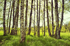 Arbres de bouleau de source Photographie stock