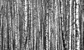 Arbres de bouleau de troncs de ressort noirs et blancs Photographie stock